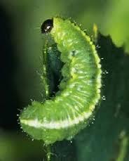 alfalfaweevil-larvae