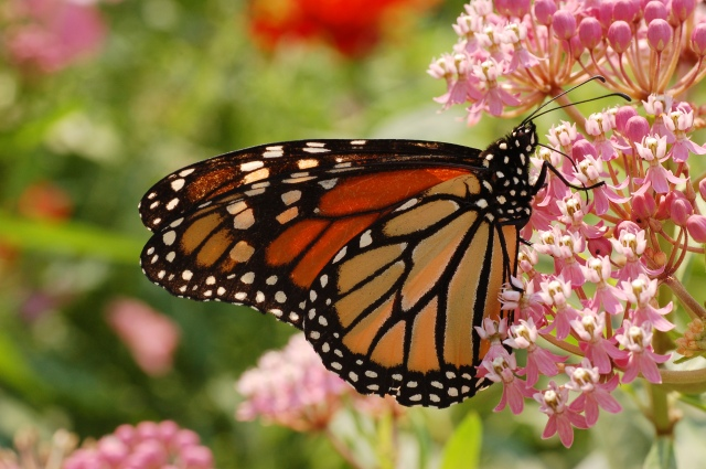 Monarch_ButterflyMilkweed
